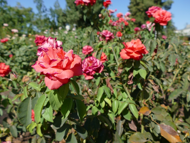 Bright pink roses on campus