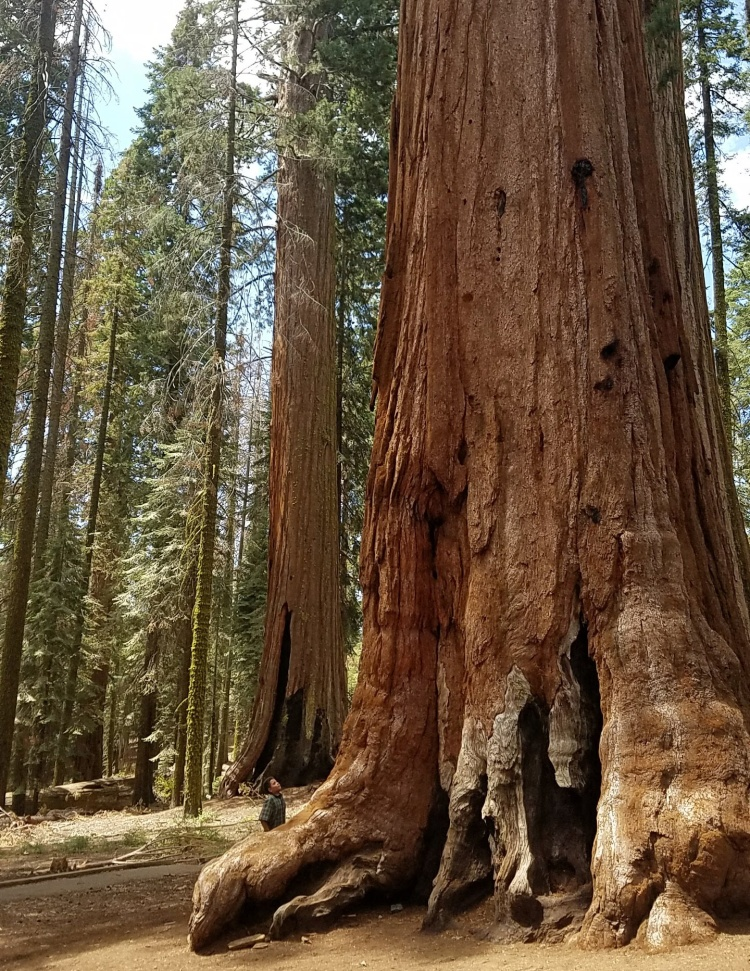 Benson Kirk looks up at a giant sequoia in McKinley Grove.